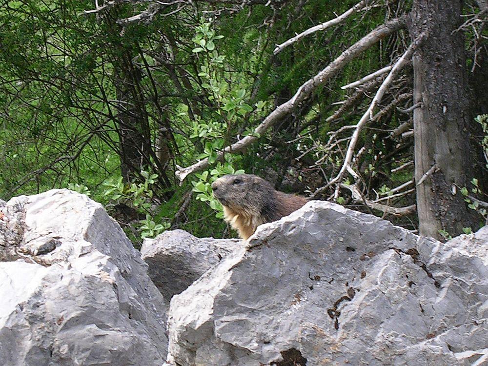 Marmotte à Pétarel