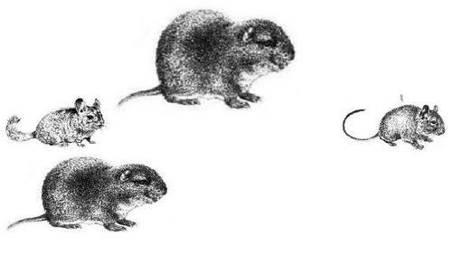 Rats-et-peste-dans-le-Champsaur.jpg